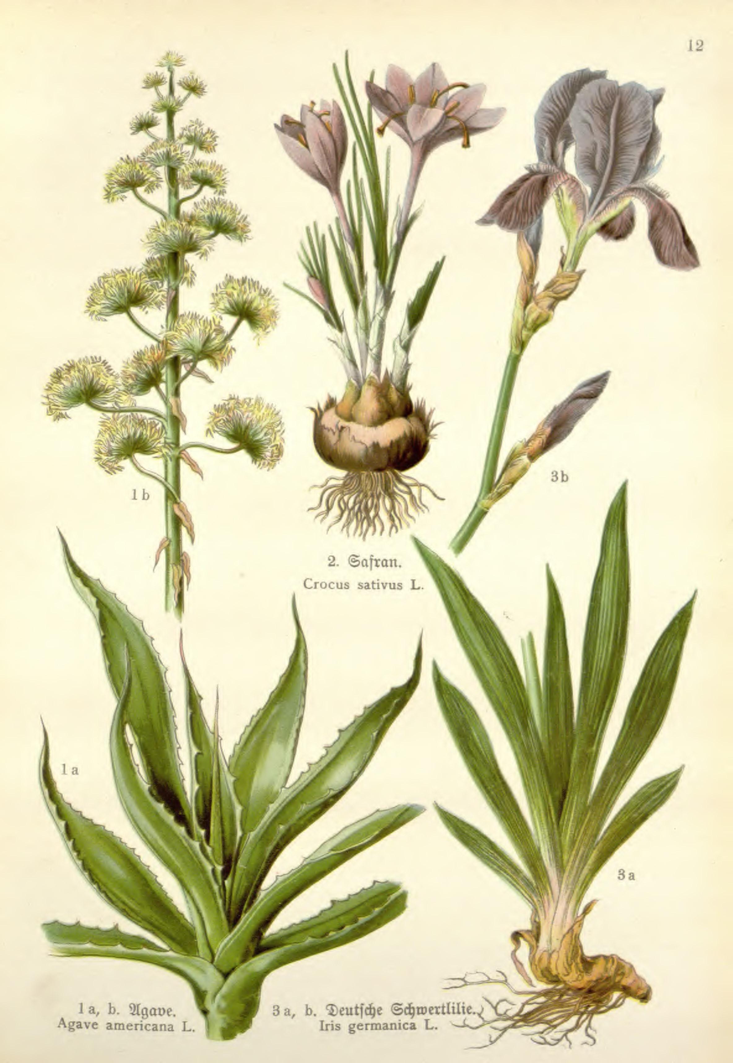 agave als heilkraut und heilpflanze wirkung herstellung u anwendung von tees tinkturen. Black Bedroom Furniture Sets. Home Design Ideas