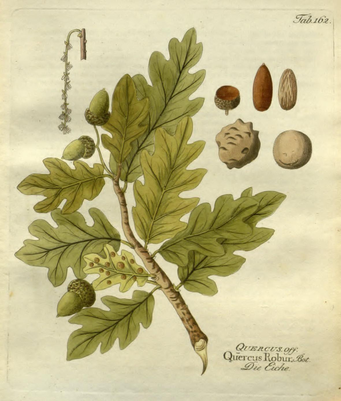 http://heublumen.net/images/heilpflanze-zeichnung/eiche-illustration.jpg