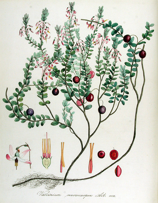 Heilpflanze Cranberries